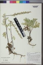 Artemisia franserioides image