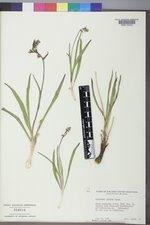 Micranthes rhomboidea image