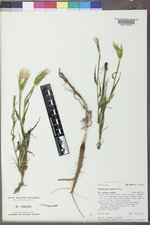 Tragopogon dubius image