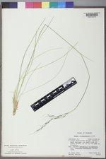 Achnatherum richardsonii image