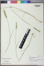 Agropyron fragile image