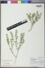 Alyssum simplex image