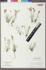 Astragalus spatulatus image