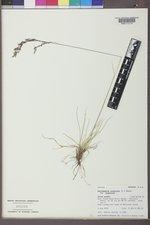 Deschampsia cespitosa var. cespitosa image