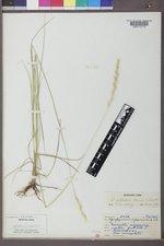Elymus albicans image
