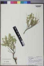 Atriplex canescens var. canescens image
