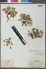 Lupinus caespitosus var. utahensis image
