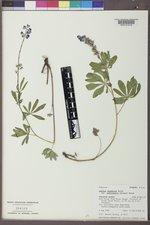 Lupinus argenteus subsp. rubricaulis image