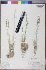 Muhlenbergia filiculmis image