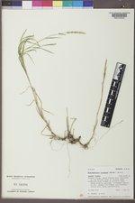 Muhlenbergia racemosa image