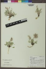 Oxytropis lagopus image