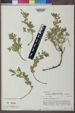 Ladeania lanceolata image