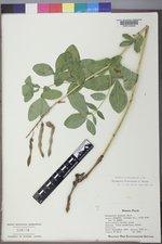 Thermopsis divaricarpa image