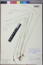 Poa nemoralis subsp. interior image