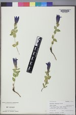 Gentiana calycosa image