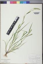 Setaria viridis image