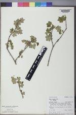 Ribes inerme image