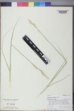Spartina gracilis image