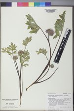Hydrophyllum capitatum image
