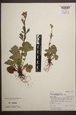 Geum macrophyllum var. perincisum image
