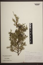 Juniperus scopulorum image