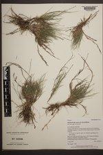 Muhlenbergia repens image
