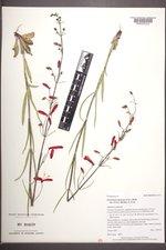 Penstemon barbatus subsp. torreyi image