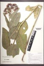 Asclepias speciosa image