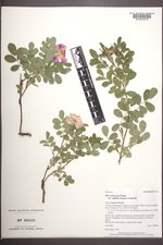 Rosa arkansana image
