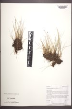 Eleocharis quinqueflora image