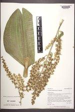 Veratrum californicum var. californicum image
