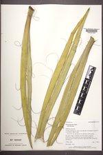 Yucca baccata var. baccata image