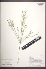 Linum puberulum image