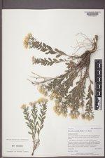 Heterotheca villosa var. nana image