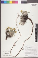 Eriogonum arcuatum image