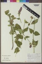 Agastache urticifolia image