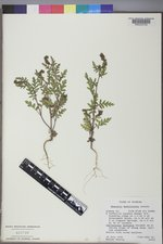 Phacelia denticulata image