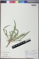 Oenothera flava image
