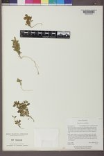 Phacelia incana image