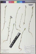 Phacelia linearis image