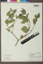 Mirabilis multiflora var. multiflora image
