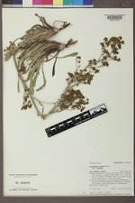 Eriogonum alatum var. alatum image