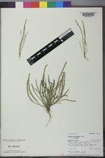 Plantago elongata image