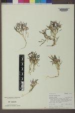 Collomia tenella image