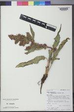 Rumex occidentalis image