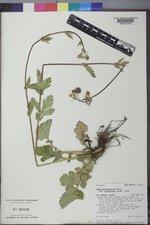 Geum macrophyllum image