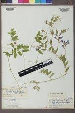 Vicia americana var. americana image