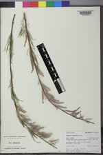 Tamarix chinensis image