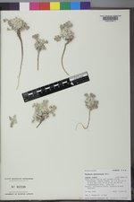 Physaria eburniflora image