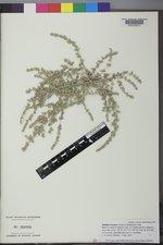 Atriplex truncata image